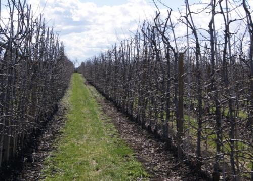 Apfelgarten im Winter