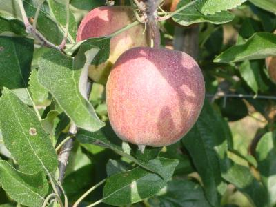 Gala Apfel am Baum